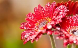 best-wallpaper.net_Red-gerbera-flowers-after-rain