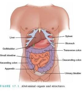 abdomin-organs_tdmu.edu.ua_image